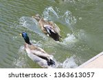 ducks jumping into water with... | Shutterstock . vector #1363613057