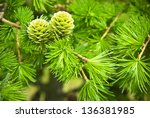 Green Larch Cones  Larch Tree