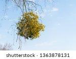 Many Hemiparasitic Shrubs Of...