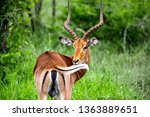 impala in close up in the... | Shutterstock . vector #1363889651