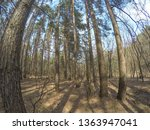 pine trees on a sunny day.   Shutterstock . vector #1363947041