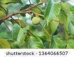 ripe of santol tropical fruit... | Shutterstock . vector #1364066507