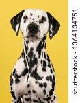 Portrait Of A Dalmatian Dog...