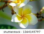 plumeria flower . beautiful... | Shutterstock . vector #1364145797