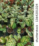 calathea roseo picta  linden ... | Shutterstock . vector #1364201324