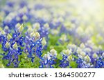 Texas Bluebonnet  Lupinus...