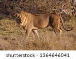 the african lion  lat. panthera ... | Shutterstock . vector #1364646041