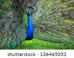 Indian Blue Peafowl Or Blue...