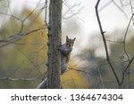 A Cute Fox Squirrel On The Tre...