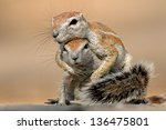 Stock photo two ground squirrels xerus inaurus playing kalahari desert south africa 136475801