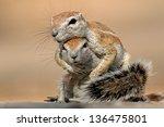 two ground squirrels  xerus...
