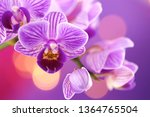 Orchid flower.  purple orchid...