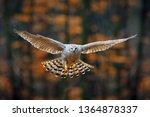 Goshawk Flying  Bird Of Prey...