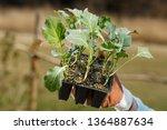 organic broccoli seedlings... | Shutterstock . vector #1364887634