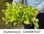 organic lettuce seedlings... | Shutterstock . vector #1364887637