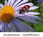 Cleridae On Flower. Chamomile...