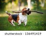Fanny Dog Basset Hound Running...