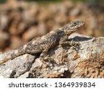 hardun  agama  ladakia stellio  ... | Shutterstock . vector #1364939834