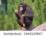 African Chimpanzee At Indian...
