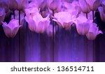 Beautiful Purple Tulip...