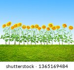 grass and sunflowers at... | Shutterstock . vector #1365169484
