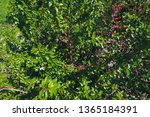 branches of mulberry with ripe... | Shutterstock . vector #1365184391