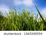 Close Up Of Green Reed In The...