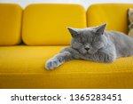 Stock photo cat sleeping on a mustard yellow sofa 1365283451