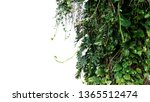 Split Leaf Philodendron...