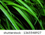 fresh green grass with drops of ... | Shutterstock . vector #1365548927