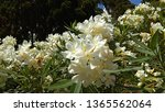 Small photo of View from below of attractive OleanderWhite flowers on a shrub. Close-up of gorgeous White Oleander shrub producing loads of pure white blossoms. Oleander's funnel-shaped flowers, lance-shaped leaves