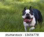 A cute Boston terrier opens his huge mouth and prepares to devour the whole world. - stock photo