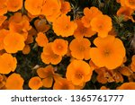 Orange Poppy Full Bloom During...