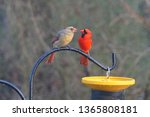 A Male And Female Cardinal...