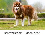 Alaska Dog  On The Grass In Th...