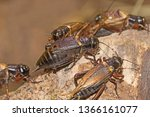 African Field Crickets  (Gryllus bimaculatus). Sometimes known as Two-spotted or Mediterranean crickets.