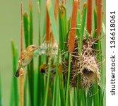 A Female Asian Golden Weaver...