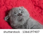Stock photo cute british lop eared kitten sleep on a red blanket 1366197407