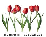 red parrot tulips isolated on...   Shutterstock . vector #1366326281