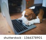 Beagle Dogs Work In The Office...