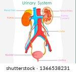 detailed urinary system. white... | Shutterstock .eps vector #1366538231