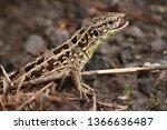 little lizard just ate the... | Shutterstock . vector #1366636487
