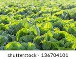 Lettuce Field in Salinas Valley, California. - stock photo