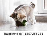 Naughty Husky Puppies Chewing...