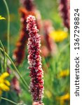 bistorta affinis plant commonly ... | Shutterstock . vector #1367298824