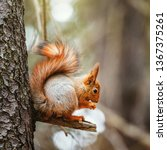 small squirrel sits on the tree ... | Shutterstock . vector #1367375261