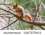 small squirrel sits on the tree ... | Shutterstock . vector #1367375411