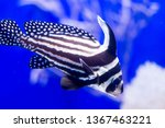 Blurry photo of a Spotted drum spotted ribbonfish in blue background in a blue sea aquarium