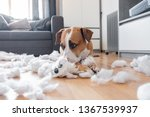 Stock photo guilty dog and a destroyed teddy bear at home staffordshire terrier lies among a torn fluffy toy 1367539937