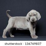 Stock photo weimaraner puppy in front of black background weimaraner puppy 136769837
